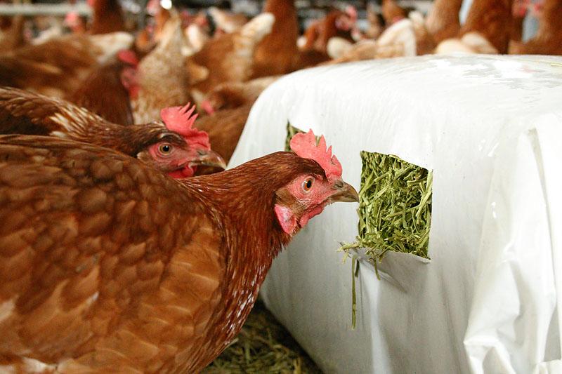Optimales Material zur Beschäftigung gegen Federpicken und Kannibalismus für Hennen in der Hühnermast