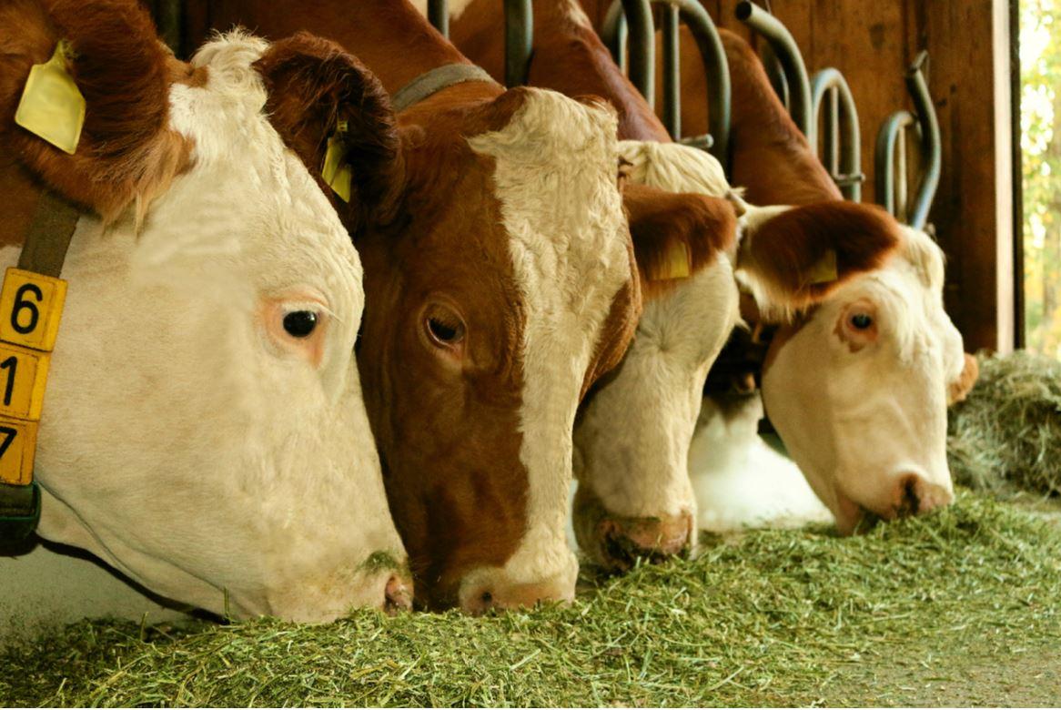 Luzerne Kühe Milchvieh